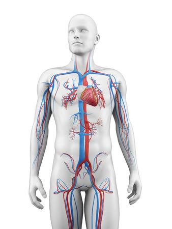 masculino: ilustración médica del sistema vascular Foto de archivo