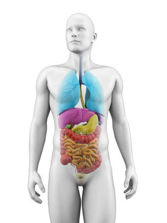 large intestine: medical illustration of the human organs