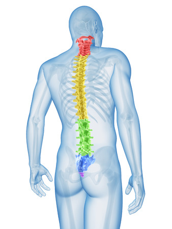 spine: medical illustration of the spine sections Stock Photo