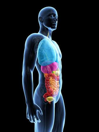 human liver: medical illustration of the organs