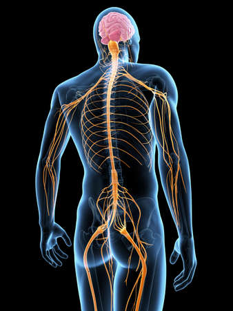 transparent male anatomy: medical illustration of the nervous system