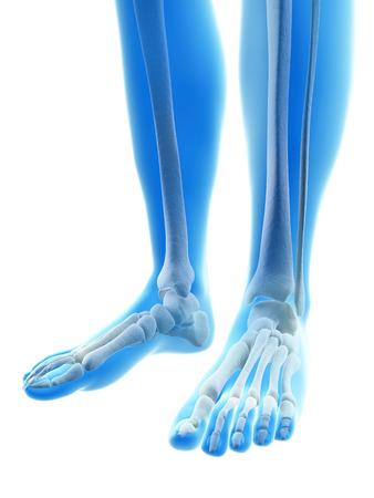 rendered illustration of the foot bones