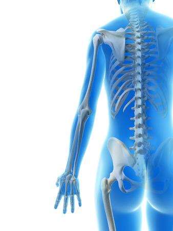 radius ulna: rendered illustration of the arm bones Stock Photo