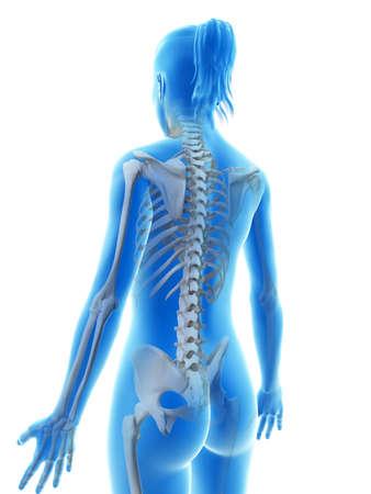 healthy body: rendered illustration of the female skeleton