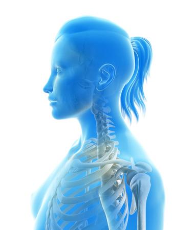 shoulder anatomy: rendered illustration of the cervical spine Stock Photo