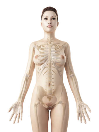 human body: rendered illustration of the female skeleton