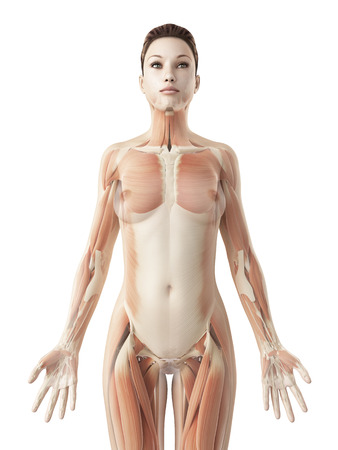 rendered illustration of the female muscle system illustration