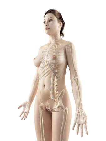 anatomie: teruggegeven illustratie van de vrouwelijke skelet Stockfoto