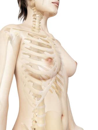 rendered illustration of the female thorax bones illustration
