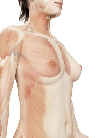 anatomy nude: females upper muscles