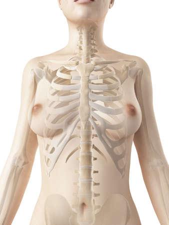 anatomie: teruggegeven illustratie van de vrouwelijke thorax botten