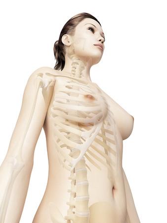 sternum: rendered illustration of the female thorax bones