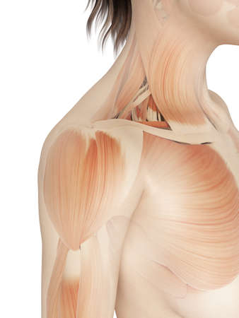 female - muscles of the shoulder photo