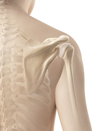 female shoulder - skeletal anatomy