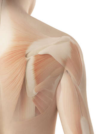 infraspinatus: female shoulder - muscular anatomy