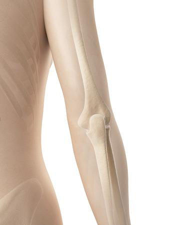 female elbow: female elbow joint bones Stock Photo