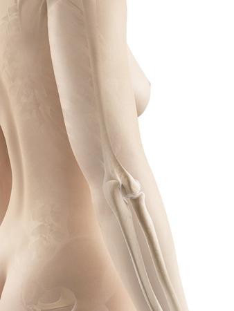 huesos humanos: huesos de la articulación del codo hembra