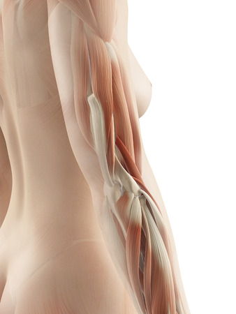 arm muscles: female arm muscles Stock Photo