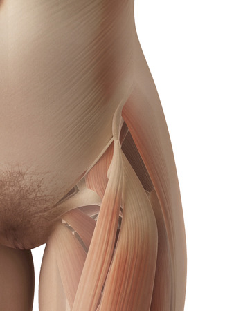 upper leg: female muscles of the hip and upper leg Stock Photo
