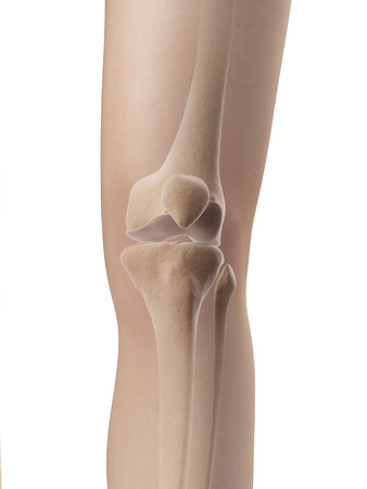 fibula: knee joint anatomy