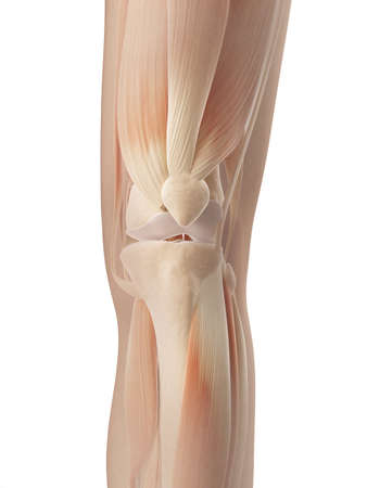 patella: knee joint muscles