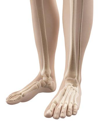 anatomy skeletal: foot - skeletal anatomy Stock Photo