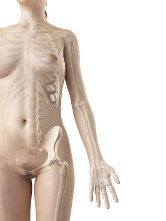 scheletro umano: ossa del braccio