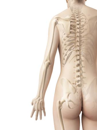 bones of the arm photo