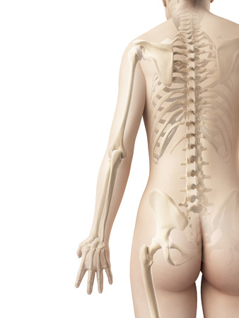 body structure: bones of the arm