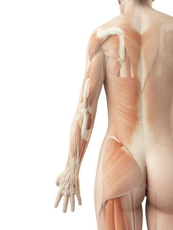 human muscle: a female´s back muscles