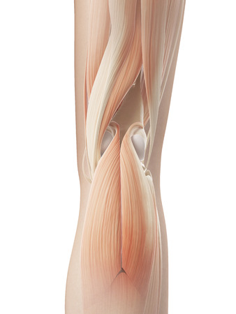 joints: knee joint - muscular anatomy Stock Photo