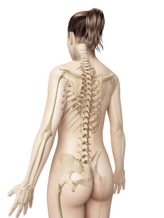 anatomy body: female skeleton from behind Stock Photo