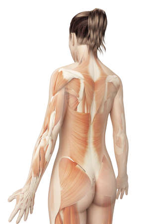 muscular system: female muscular system from behind Stock Photo
