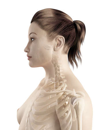 bones of the neck and shoulder photo