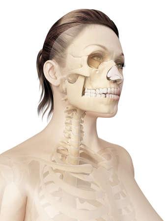 bones of the skull photo