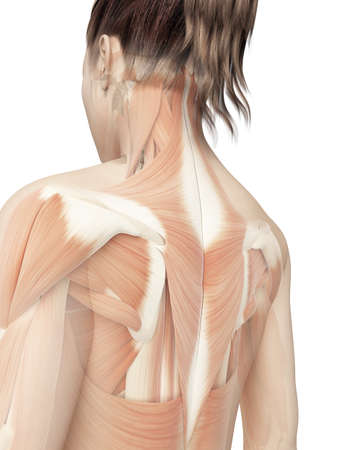 muscle anatomy: female back muscles Stock Photo