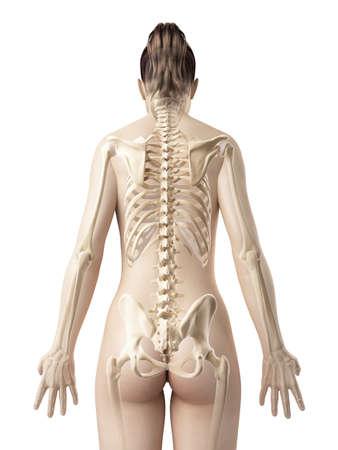 esqueleto humano: esqueleto femenino de detrás Foto de archivo