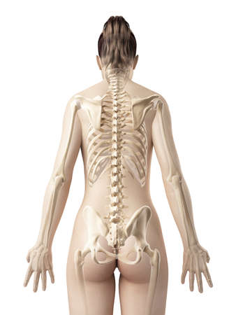 human bodies: female skeleton from behind Stock Photo