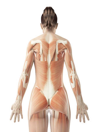 musculature: female back muscles Stock Photo