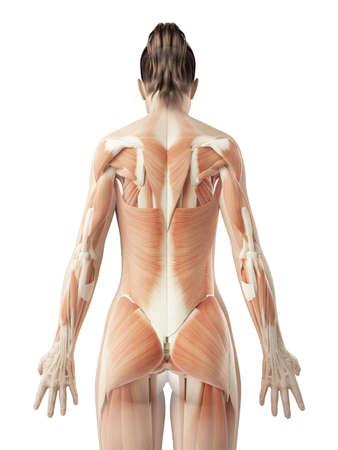 estructura: músculos de la espalda femeninos