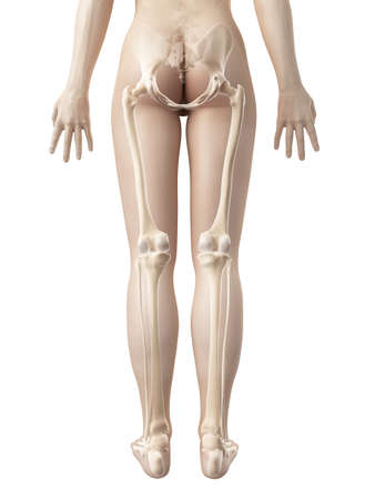 bone anatomy: female leg bones Stock Photo