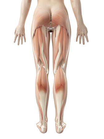 females: female leg musculature