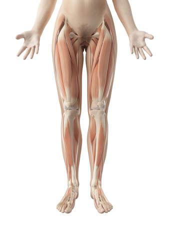 anatomy leg: female leg muscles