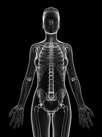 human skeleton: esqueleto femenino transparente - parte superior del cuerpo