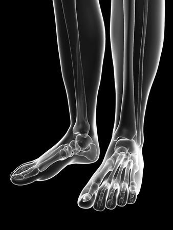 tibia: transparent female skeleton - foot bones