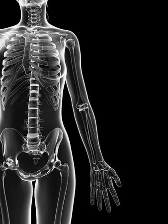 transparent female skeleton - arm bones Stock Photo - 23222289