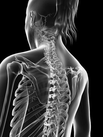 transparent female skeleton - upper body photo