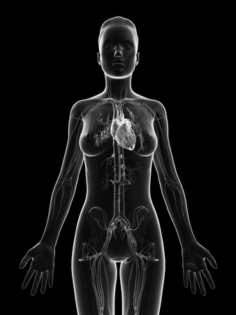 aortic bodies: grey, transparent heart of a female