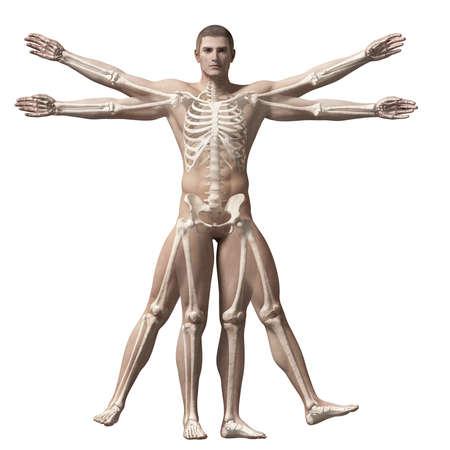 human skeleton: vitruvian man - skeleton