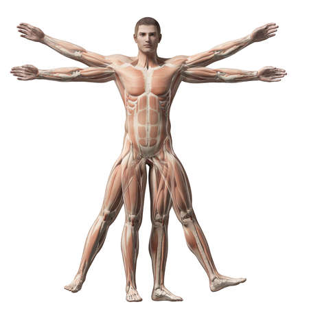 leonardo da vinci: vitruvian man - muscle system